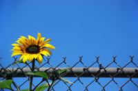 Sunflowerpenywise